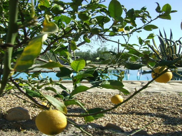 Lemons In The Garden