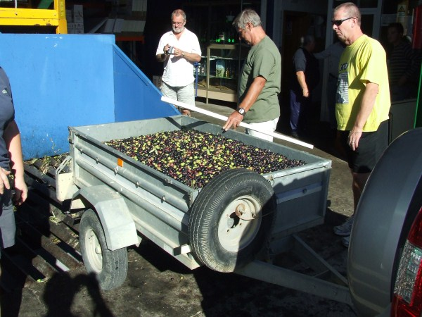 Olives about to be pressed